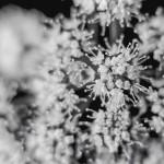 Black and White Blossom