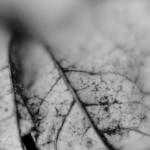 Autumn leaf veins
