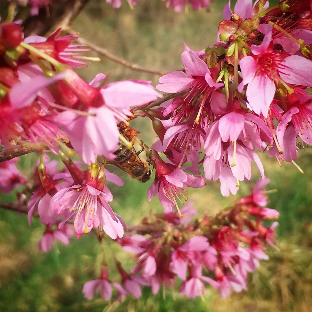 Remembering yesterday's sunshine! #cherryblossom #bees #springiscoming