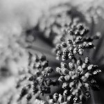 Black and White Seed Heads
