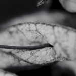 Curled Autumn leaf