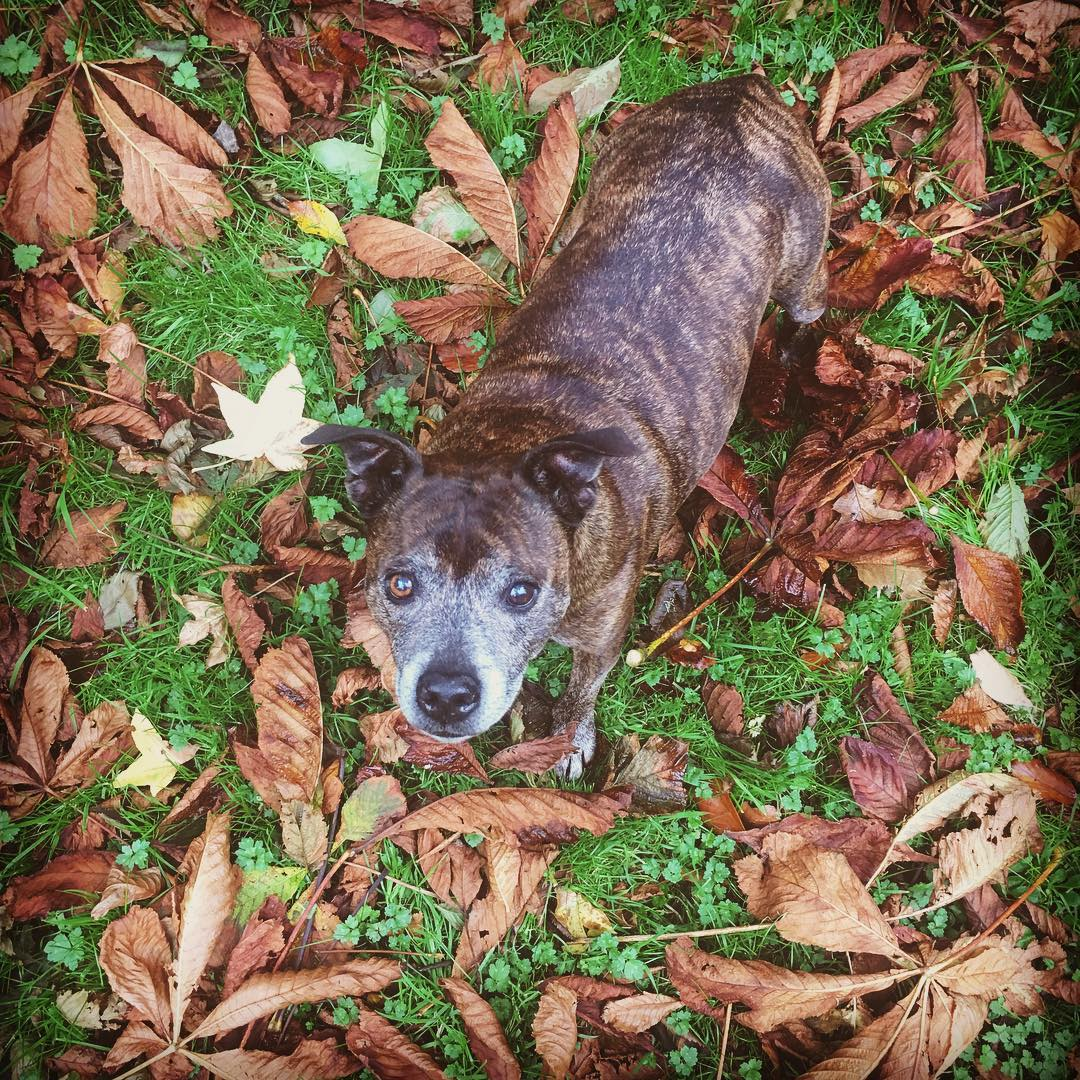 Fabulous #autumn 🍂 🍁 leaves… #dogwalks #autumncolours #inspiration