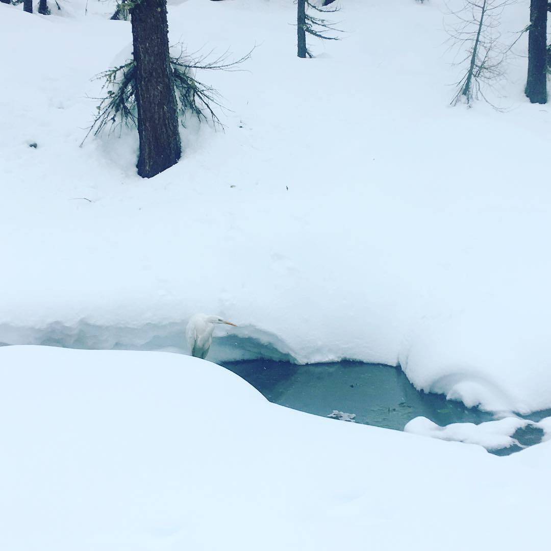 Spot the camouflaged snow white bird hiding in the mountain stream…